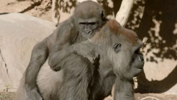 the gorilla with her mother