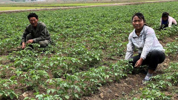 Travailler dans les rizières de la ferme de Kochang en dehors de Pyongyang