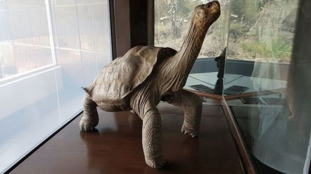 Corpo embalsamedo da tartaruga George