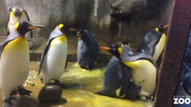 Pinguins no zoológico de Odense