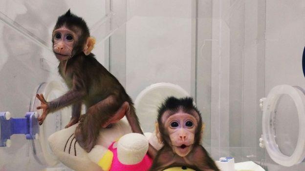 چینیها دو میمون را در آزمایشگاه شبیهسازی کردند