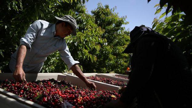 加州的櫻桃產業