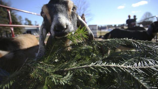 коза жует еловые ветки