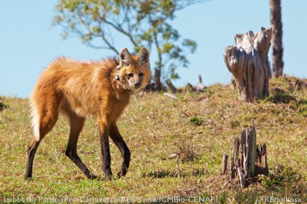Lobo-guará brinca em campo