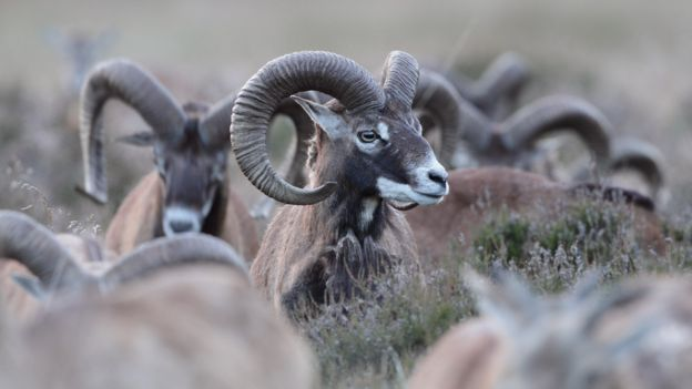 Mouflon sheep in De Hoge Veluwe national park, Netherlands