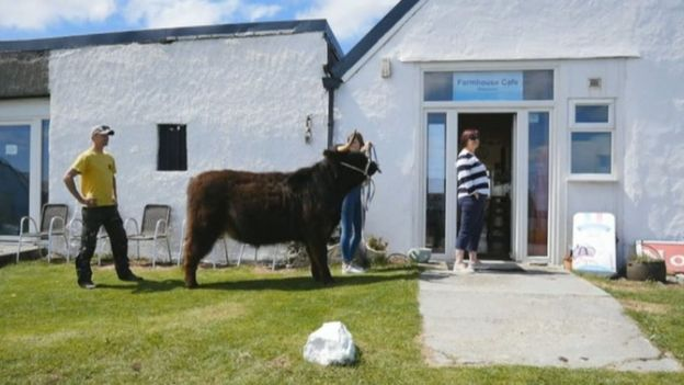 Highland cow at the Farmhouse Cafe on the island on Tiree