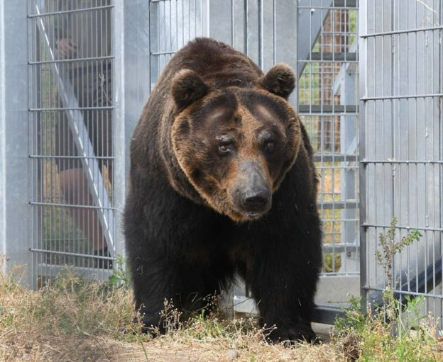Endangered brown bears rehomed at Yorkshire Wildlife Park - BBC News a9d2ca607ee14