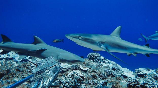 Grey reef shark and sicklefin lemon shark