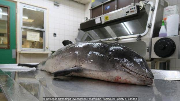Ikan pesut