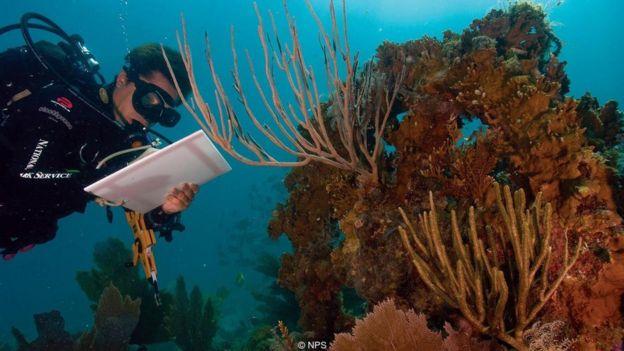 Mergulhador estuda coral