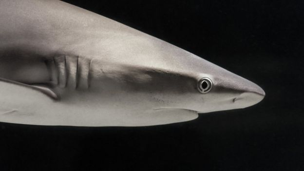 The new sharks coming to uk as temperatures rise bbc news bronze whaler thecheapjerseys Gallery