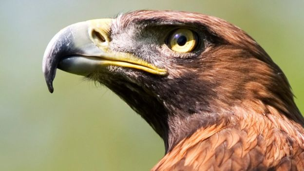 Golden eagle (c) Science Photo Library