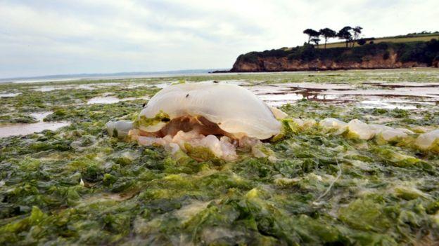 قنديل البحر وسط التلوث