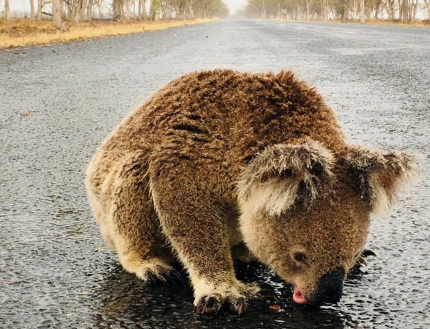 A koala licks rainwater off a road near Moree, New South Wales
