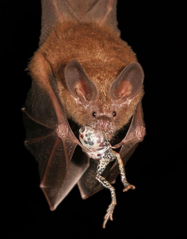 Murciélago con una rana túngar en la boca
