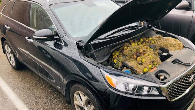 A car with the bonnet lifted to reveal the stash of walnuts and grass