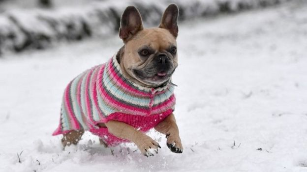 Record number of operations performed on brachycephalic dog breeds