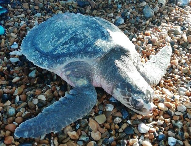 Turtle on Seaford Beach