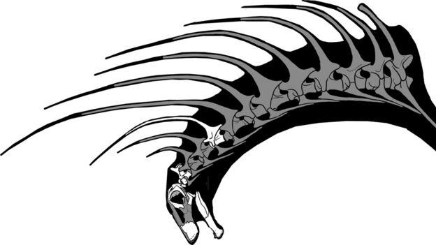 Ilustração mostrando os espinhos como projeções das vértebras do Bajadasaurus pronuspinax, dinossauro descoberto na Argentina
