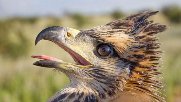 Águila del Chaco