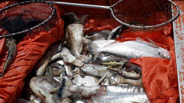 Peixes mortos no rio Teles Pires