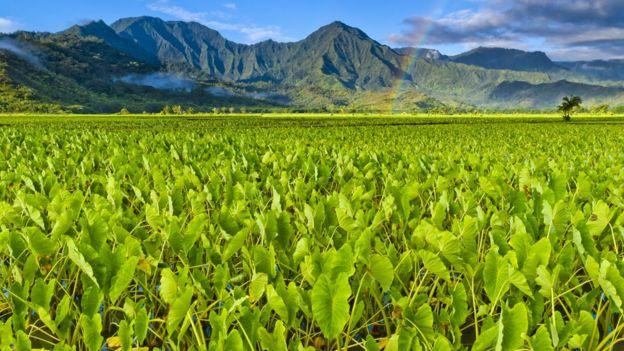Hawaii taro farming