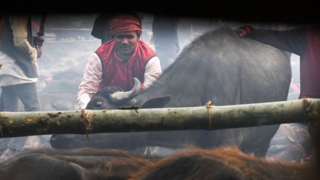 A Hindu devotee prepares to slaughter a buffalo as an offering during the Gadhimai Festival in Bariyarpur on December 3, 2019.
