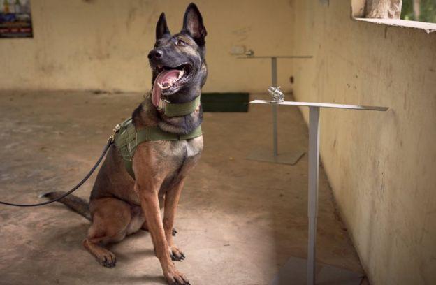 Ram, a sniffer dog with Kenyan Wildlife Service (KWS) during sniffer dog training at Mombasa sea port.