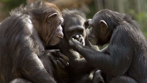 Three chimpanzees sit in a group appearing to have a meeting