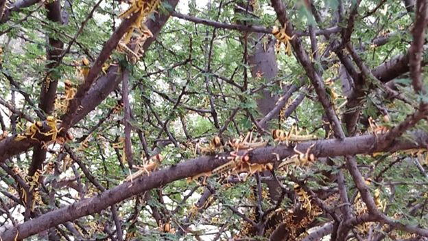 Locusts on a tree