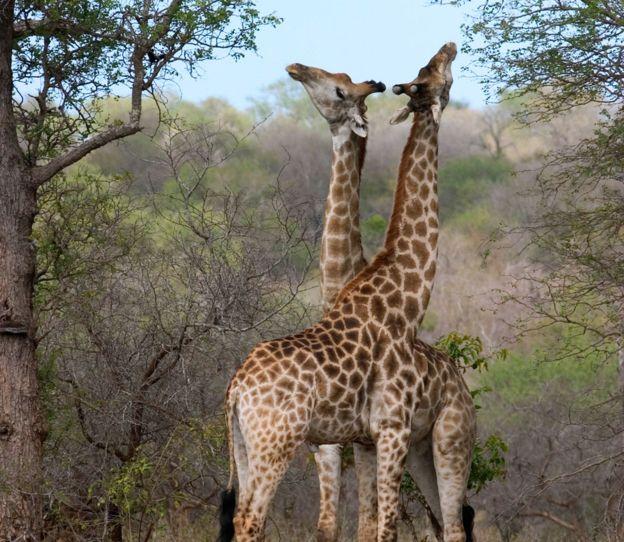 Jirafas machos enlazando sus cuellos para ver quién domina