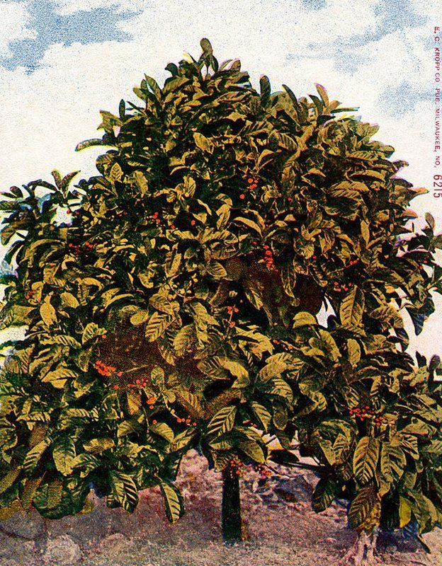 Planta de café pintada en la carátula de una revista estadounidense de la época