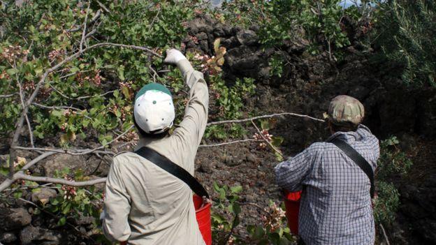 布朗特綠色開心果一律手工採摘,就跟數百年前一樣。