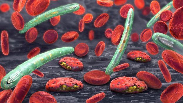 Plasmodium e células sanguíneas