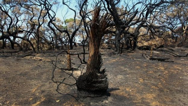 Charred trees in the Parndana region of Kangaroo Island
