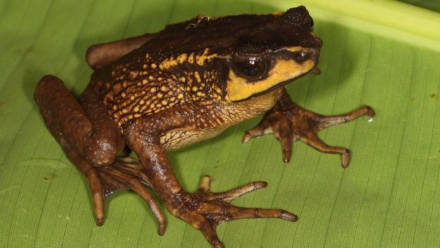 The Carchi Andes toad