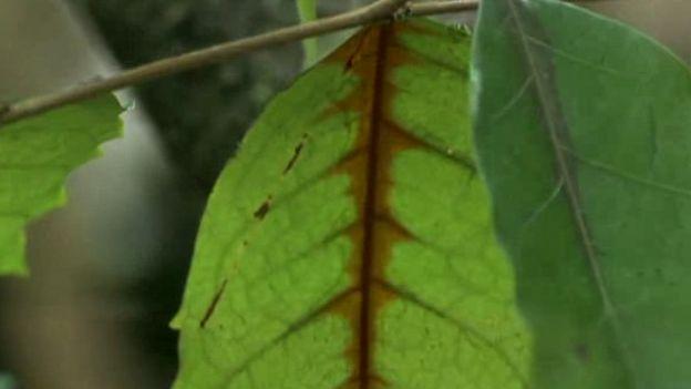 Veneno se dispersando na folha