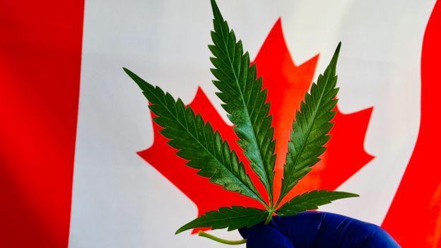 Planta de marihuana frente a la bandera de Canadá