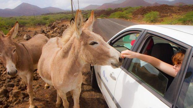 Los burros fueron introducidos en la Isla Ascensión a principios del siglo XIX y ahora deambulan por las montañas.