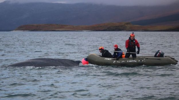 Rescue of an entangled whale in Scotland in 2016