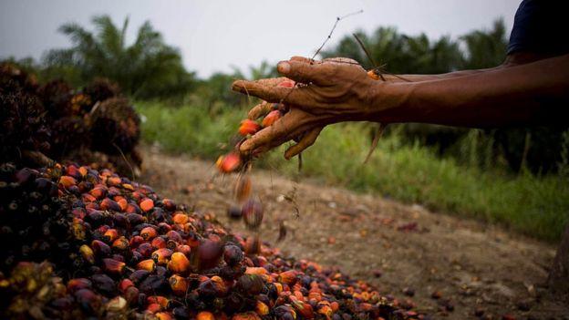 Un agricultor recoge semillas de aceite de palma en Kuala Cenaku, Sumatra, Indonesia, un negocio que está causando la deforestación en el país.