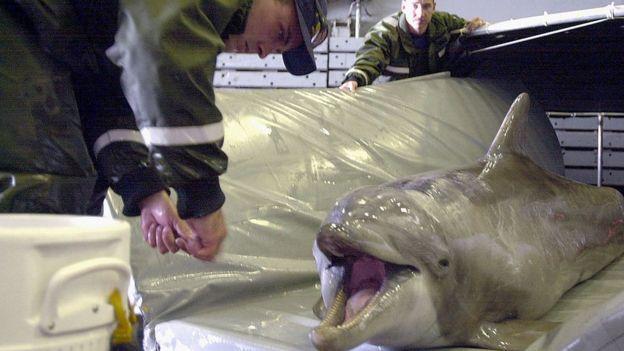 Um golfinho de nariz do Pacífico usado para identificar minas em águas rasas a bordo do navio do navio USS Duluth, em 21 de março de 2001