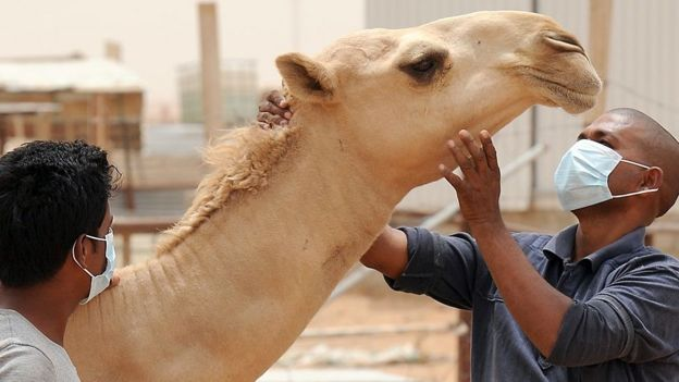 Camels can harbour the novel coronavirus, Mers