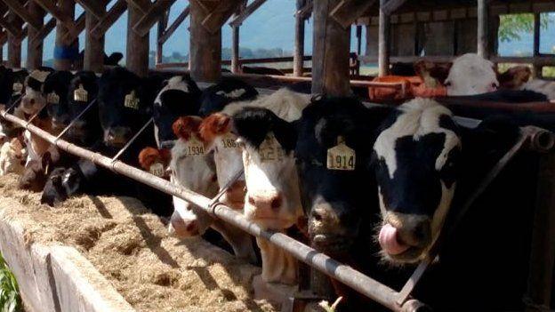 Cows at Cream Hill stock farm