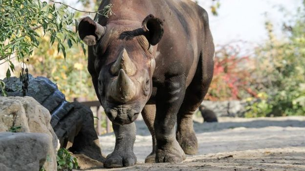 Black rhino (c) Chester Zoo