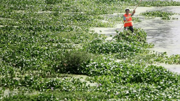 Cleaner Wu Xinghai cleans up lemna minor and water hyacinth in Anchang River on 10 July 2015 in Mianyang, Sichuan province, China