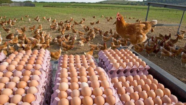 养鸡产业遍布众多国家。 (图片来源: Ernie Janes/naturepl.com)