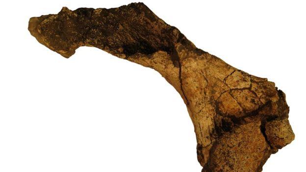 Titanochelon tısbağasının sümükləri