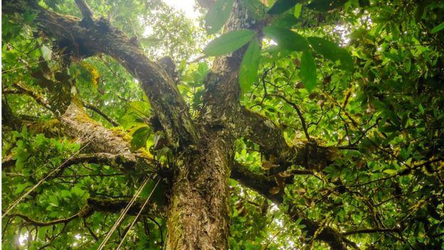 Imagem mostra copa de árvore na Amazônia