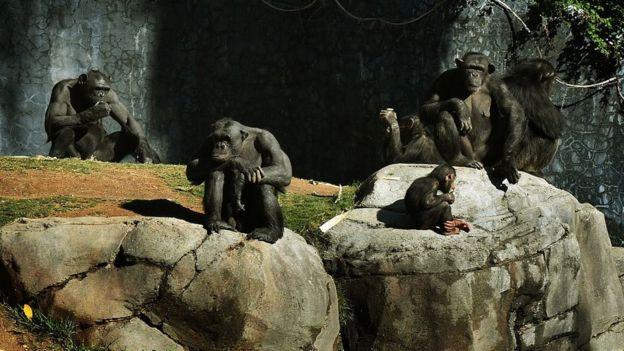 Grupo de chimpancés en un zoológico.